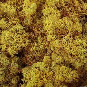 licheni-muschi-nordici-islandezi-norvegieni-cutie-500g-galben-detaliu-natur-art-magazin